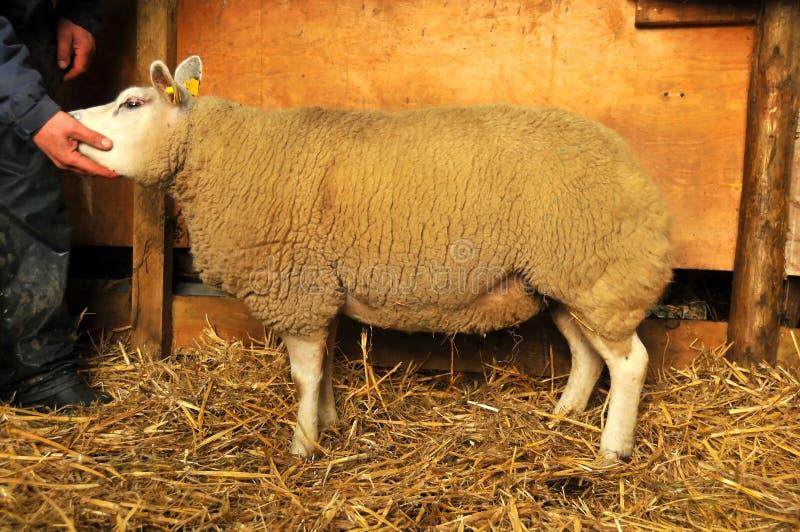 Moutons de pure race image libre de droits