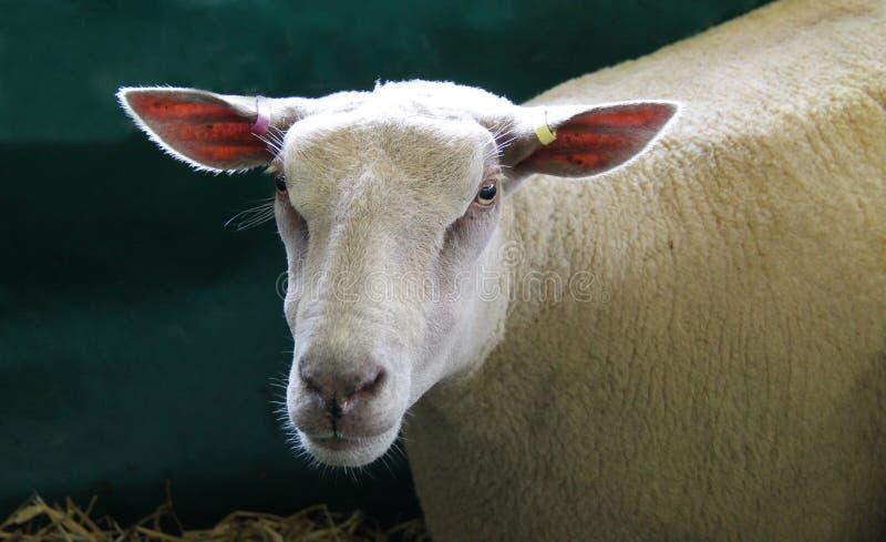 Moutons de pure race du charolais photo libre de droits