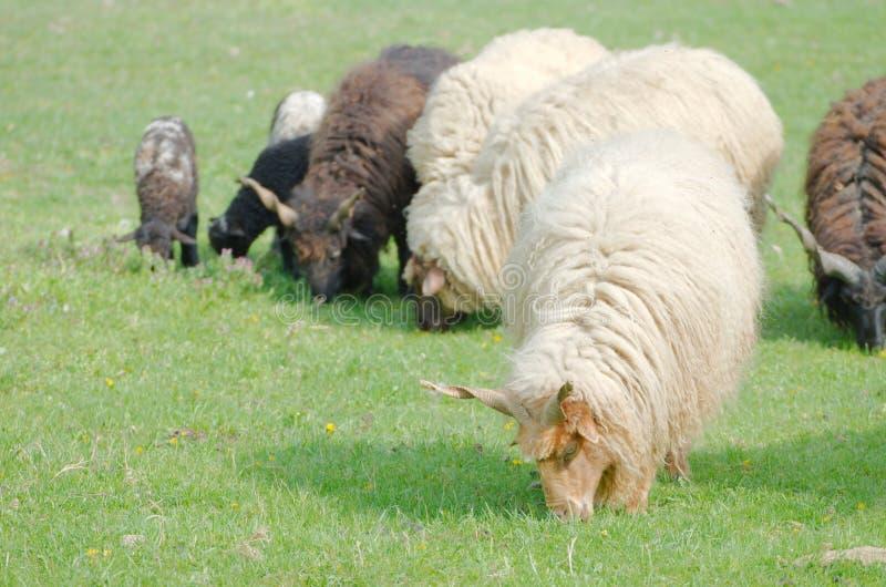 Moutons de Racka de Hongrois menant le pâturage images libres de droits