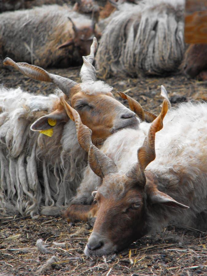 Moutons de Racka se reposant ensemble photo libre de droits