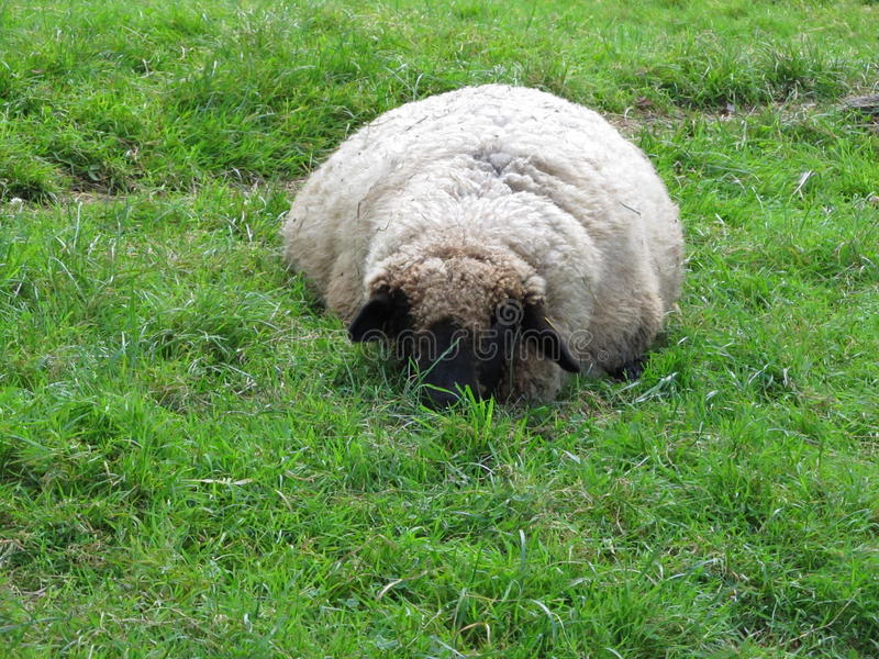 Moutons de repos photo libre de droits