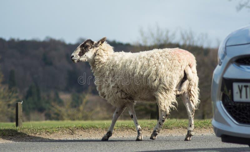 Moutons de route images stock