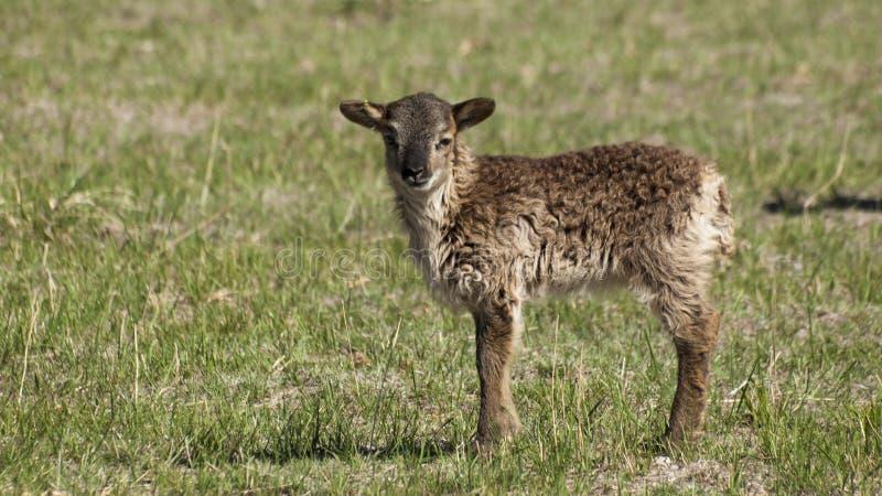 Moutons de soay photo stock image du animaux nature - Photos de moutons gratuites ...