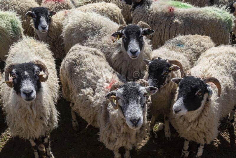Moutons de Swaledale - vallées de Yorkshire - l'Angleterre images libres de droits