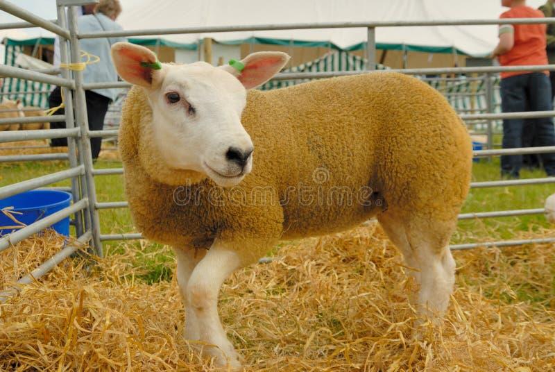 Moutons de Texel photos libres de droits