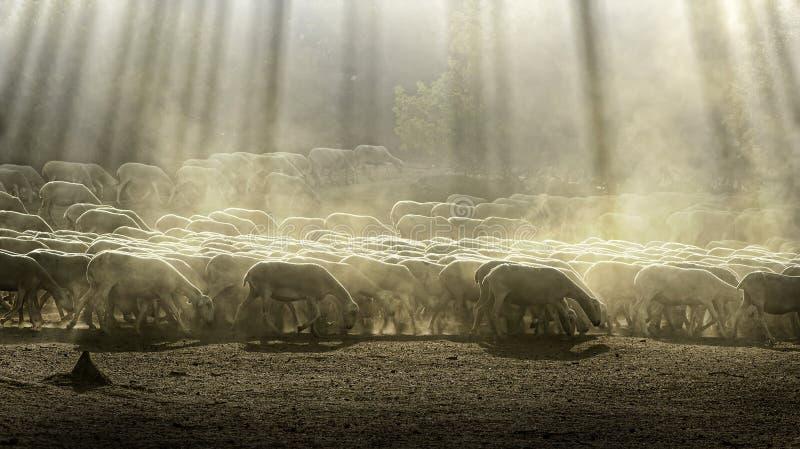 Moutons de troupeau image libre de droits