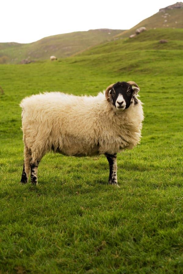Moutons de vallées de Yorkshire image libre de droits