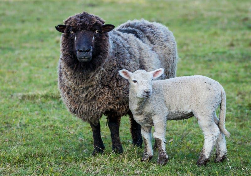 Moutons de visage noir images stock
