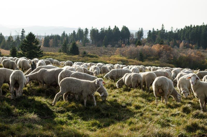 Moutons de Vogezen stock foto