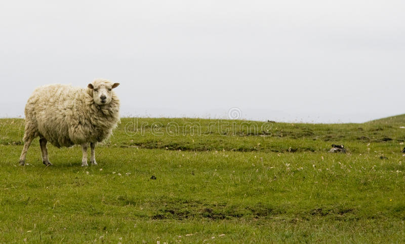 Moutons des Îles Shetland photo stock