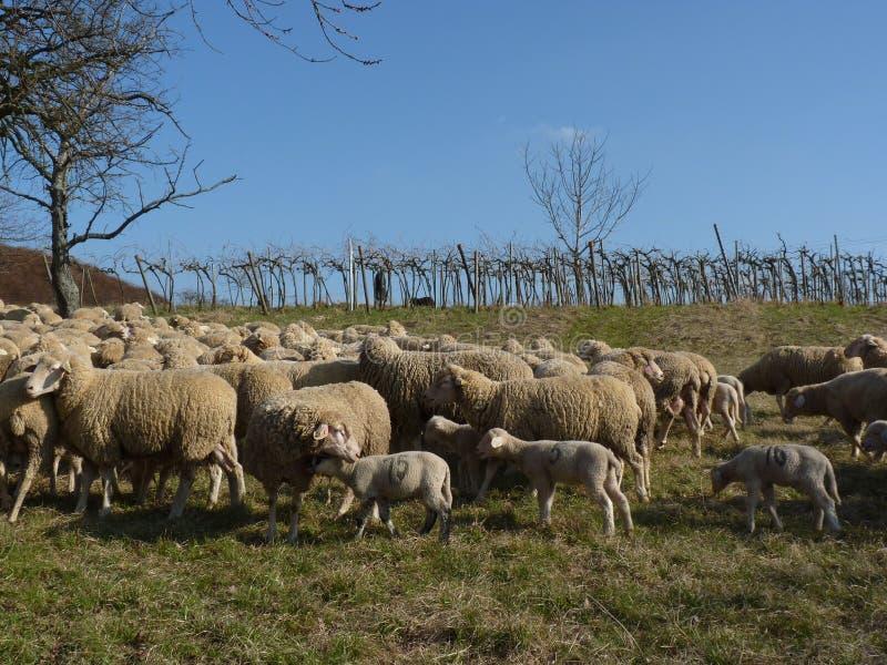 Moutons devant un vignoble photographie stock