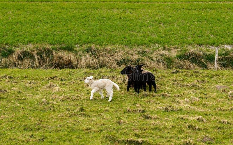 Moutons, digue, agneaux, la Mer du Nord image libre de droits