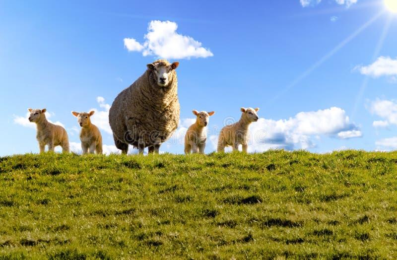 Moutons, digue, agneaux, la Mer du Nord image stock