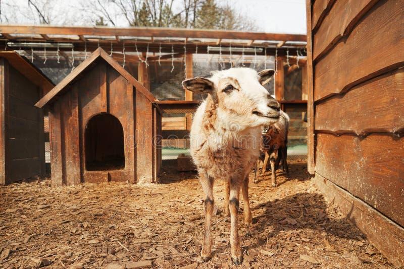 Moutons drôles mignons photographie stock