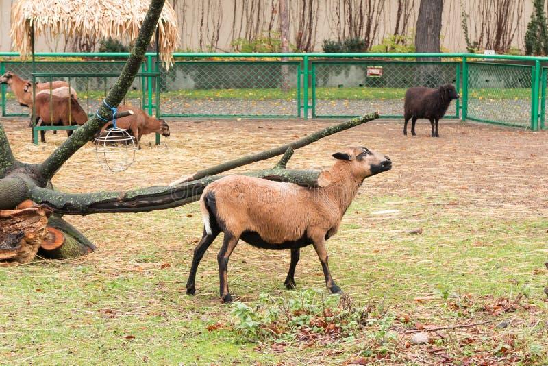 Moutons du Cameroun rayant de retour sur la branche images stock