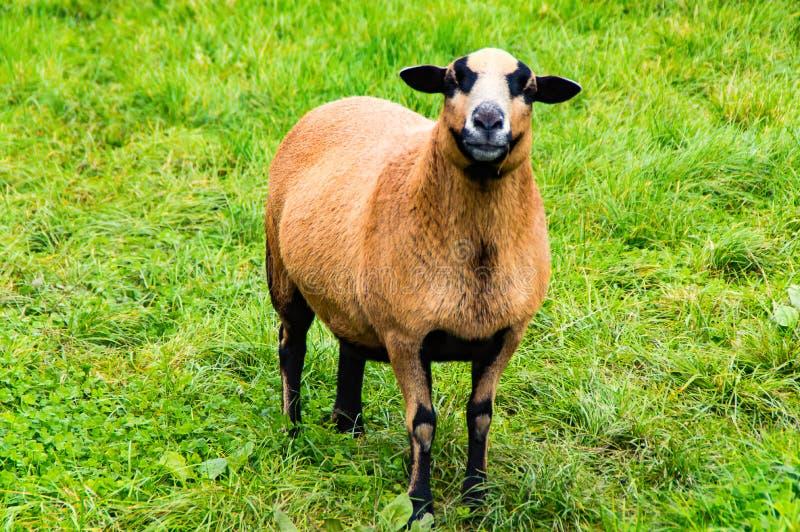 Moutons du Cameroun sur les gras verts images stock