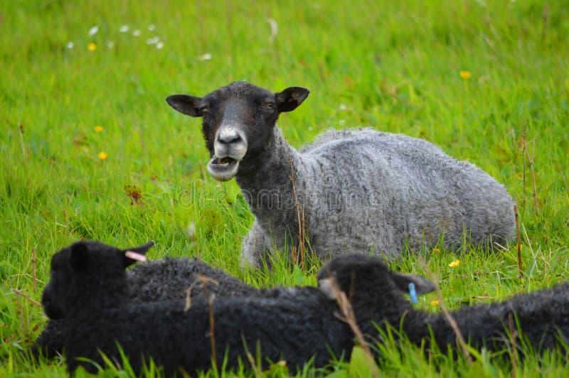 Moutons du Gotland avec des agneaux photographie stock