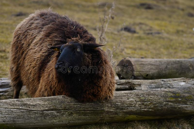 MOUTONS du GOTLAND - race nordique des moutons connus pour la laine grise bouclée photo libre de droits