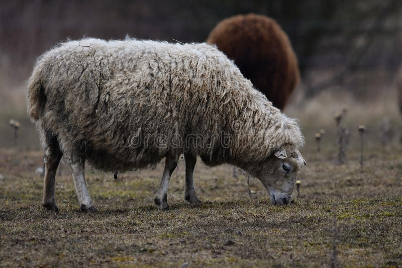 MOUTONS du GOTLAND - race nordique des moutons connus pour la laine grise bouclée image libre de droits