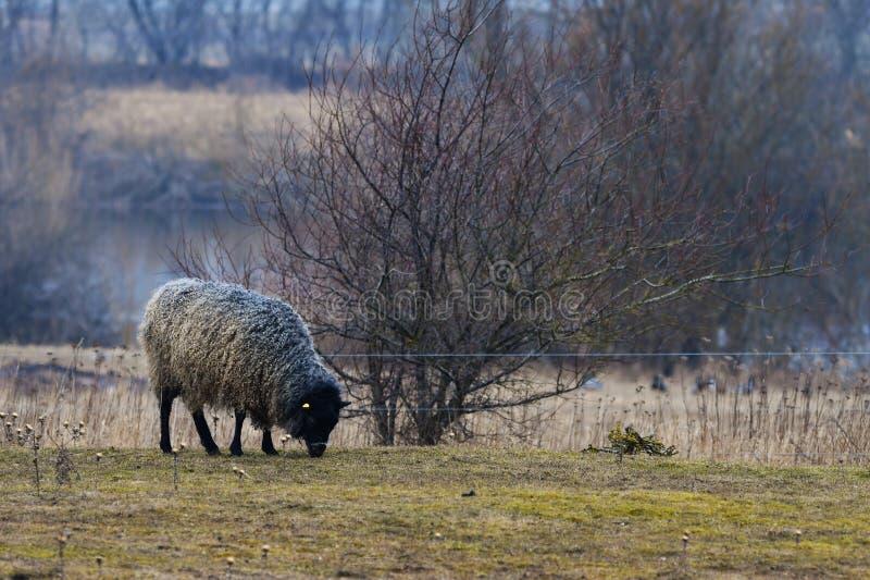 MOUTONS du GOTLAND - race nordique des moutons connus pour la laine grise bouclée photos libres de droits