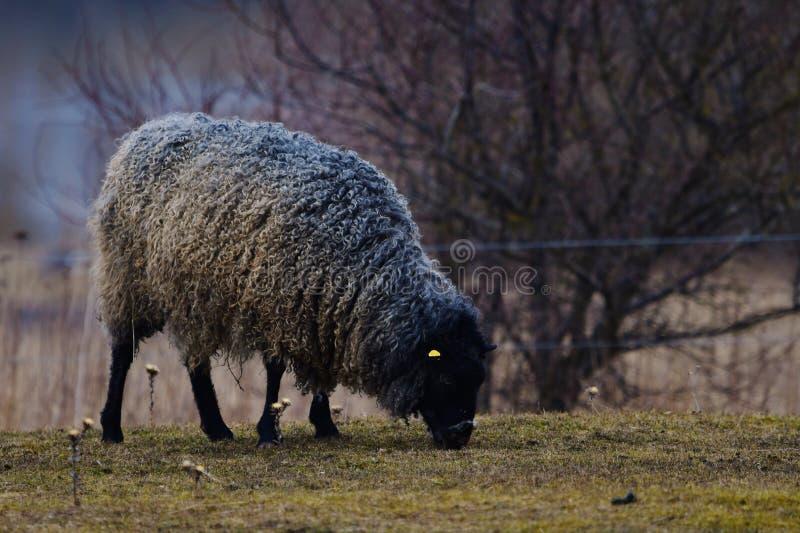 MOUTONS du GOTLAND - race nordique des moutons connus pour la laine grise bouclée photographie stock libre de droits