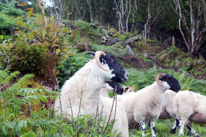 Moutons en bois photos libres de droits