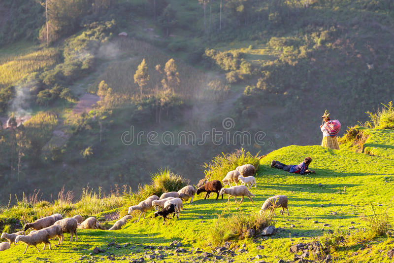 Moutons en Bolivie images stock