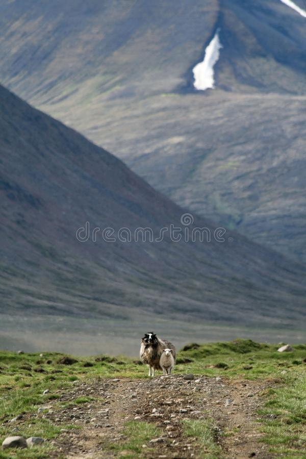Moutons en Islande photo stock