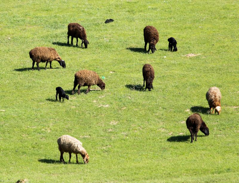 Moutons en nature photos libres de droits