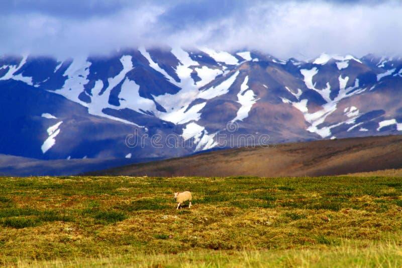 Moutons en nature ouverte près de hutte de Hvitarnes, Islande photo libre de droits