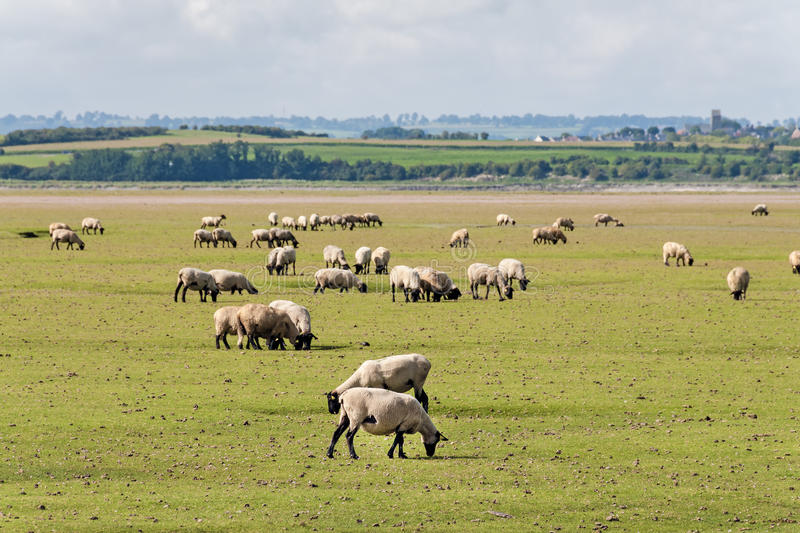 Moutons en Normandie photographie stock