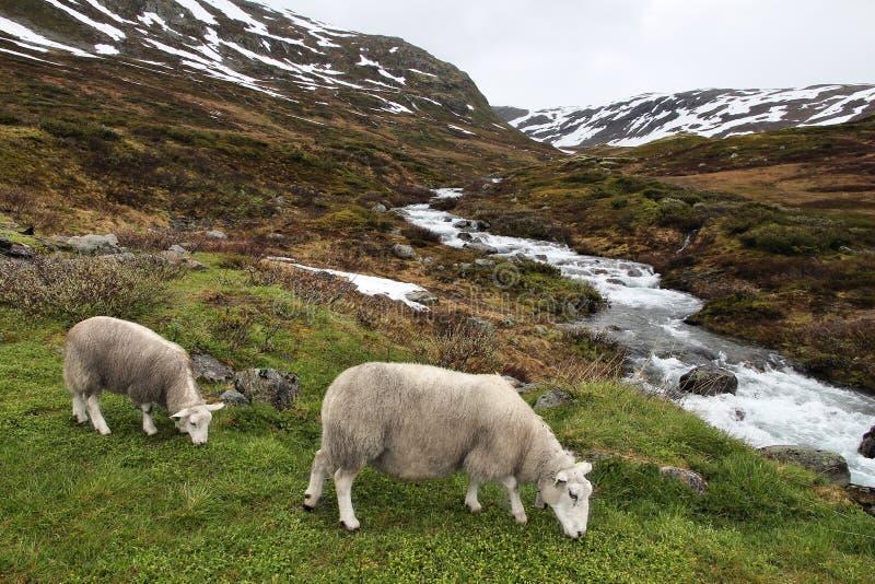 Moutons en Norv?ge photographie stock