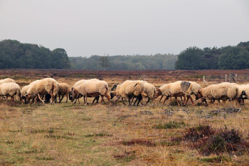 Moutons en santé aux Pays-Bas photos stock