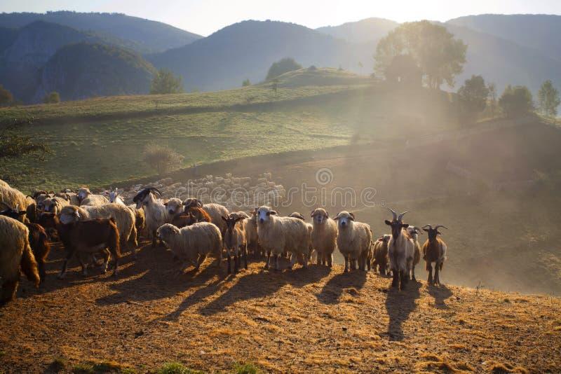 Moutons entendus parler dans le matin brumeux en montagnes d'automne photos libres de droits