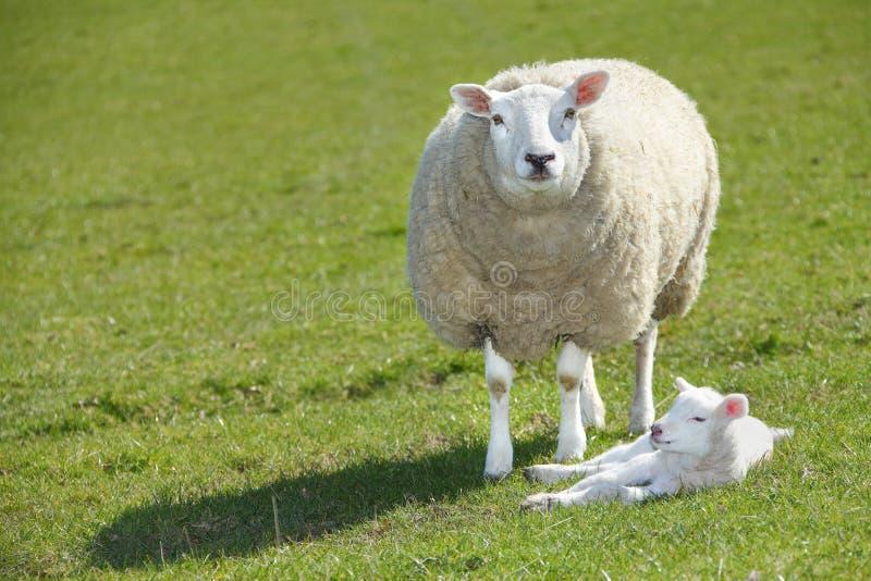 Moutons et agneau photographie stock libre de droits