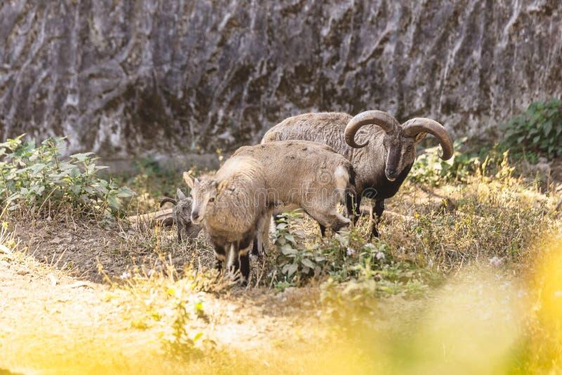 Moutons et agneau bleus avec l'arbuste dans le premier plan qui vivent dans le parc zoologique de l'Himalaya de Padmaja Naidu che photos libres de droits