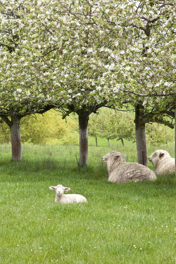 Moutons et agneau sur l'herbe verte sous les arbres fruitiers fleurissants au printemps, Moutere supérieur, île du sud, Nouvelle- images libres de droits