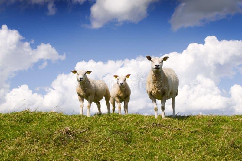 Moutons et agneaux photographie stock