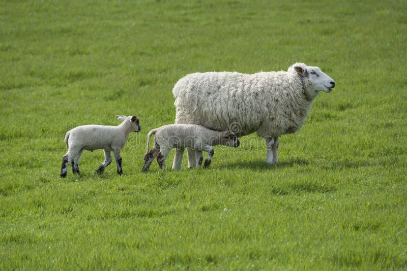 Moutons et agneaux photos stock