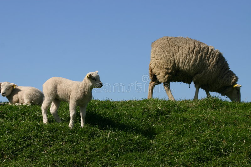 Download Moutons et agneaux photo stock. Image du holland, rural - 735010