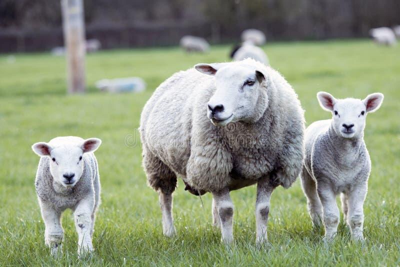Moutons et agneaux images libres de droits