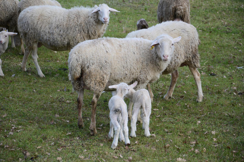 Moutons et agneaux images stock