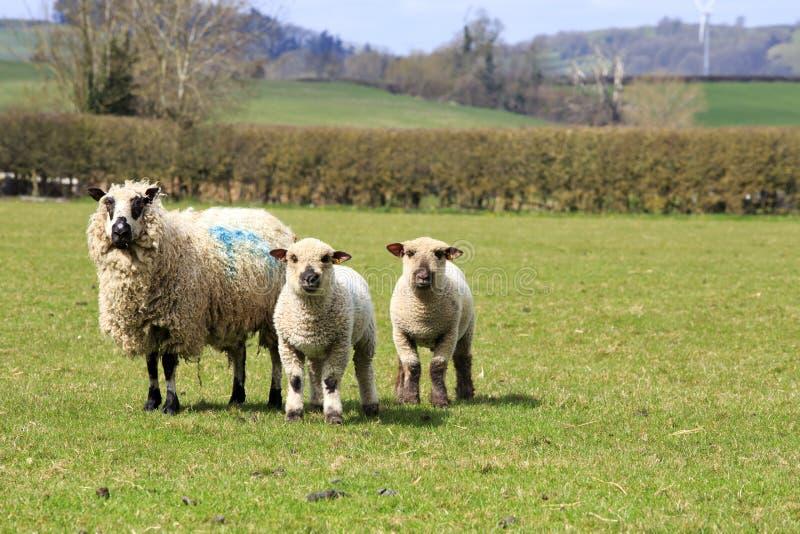 Moutons et agneaux rares de race photos libres de droits