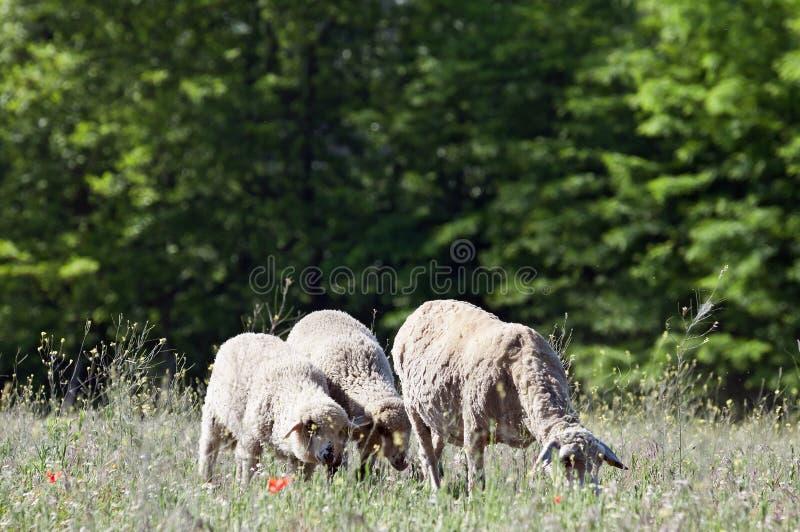 Moutons et agneaux sur le pré photo libre de droits