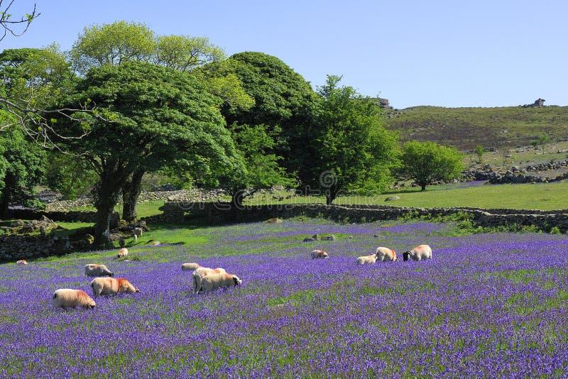 Moutons et bluebells sur Dartmoor image stock