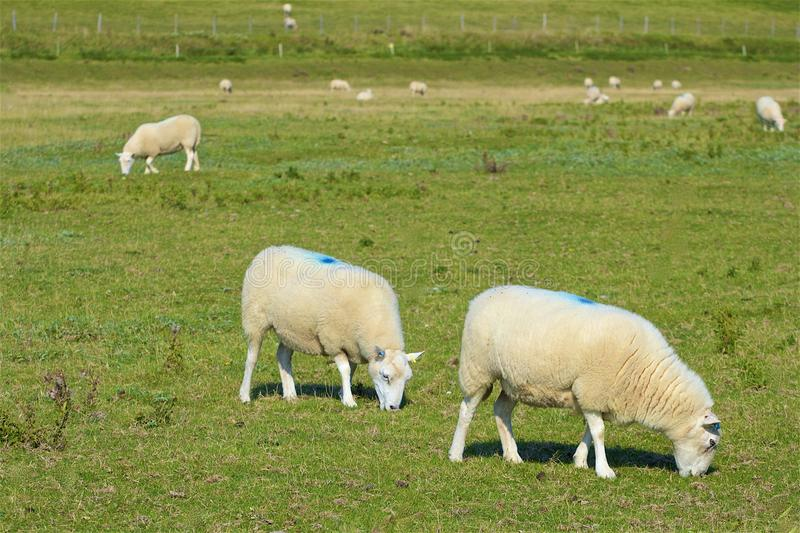 Moutons et campagne anglaise, R-U images stock
