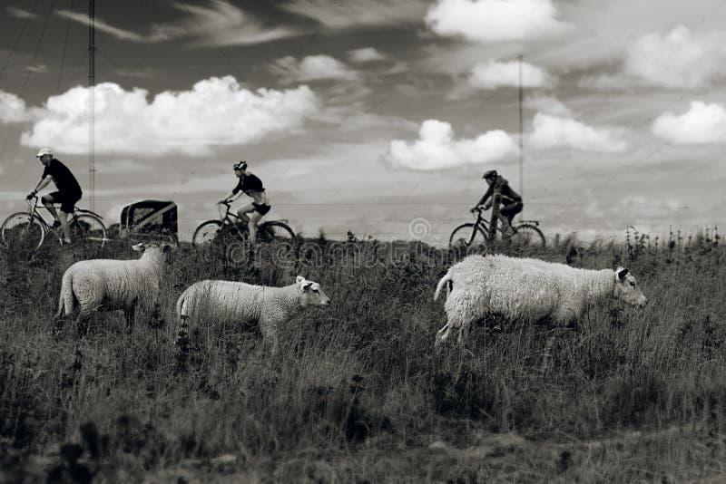 Moutons et cycliste, 3x3 photos libres de droits