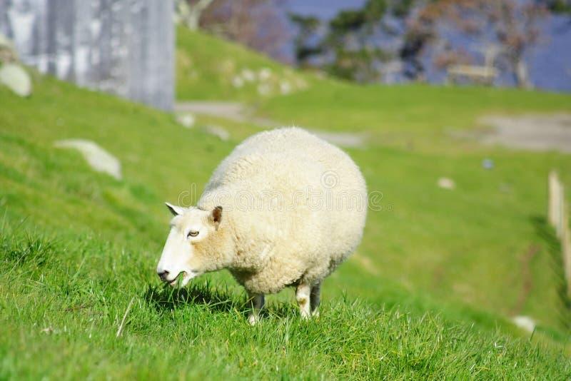 Moutons et Glassland photographie stock libre de droits