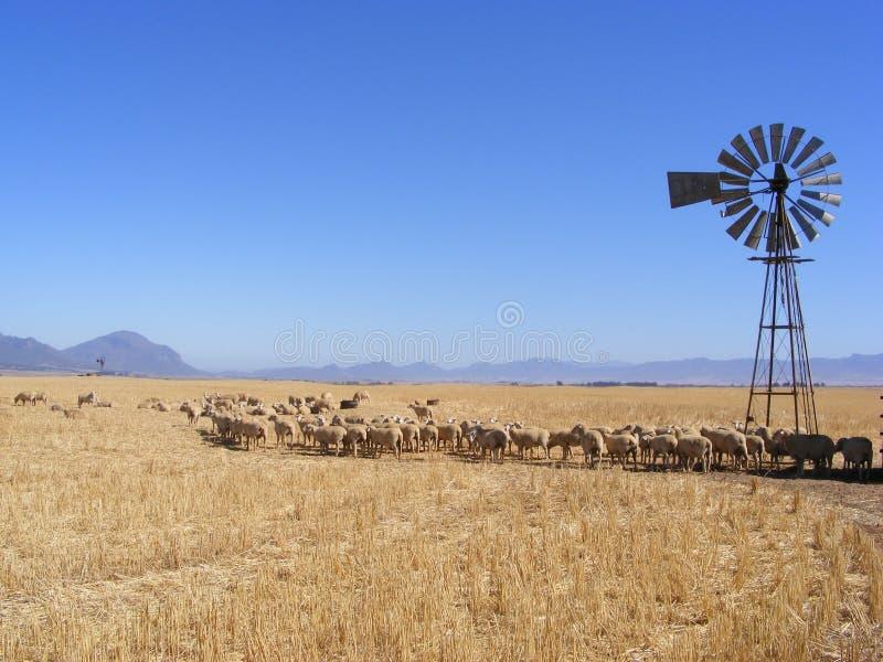 Moutons et moulin à vent photos stock