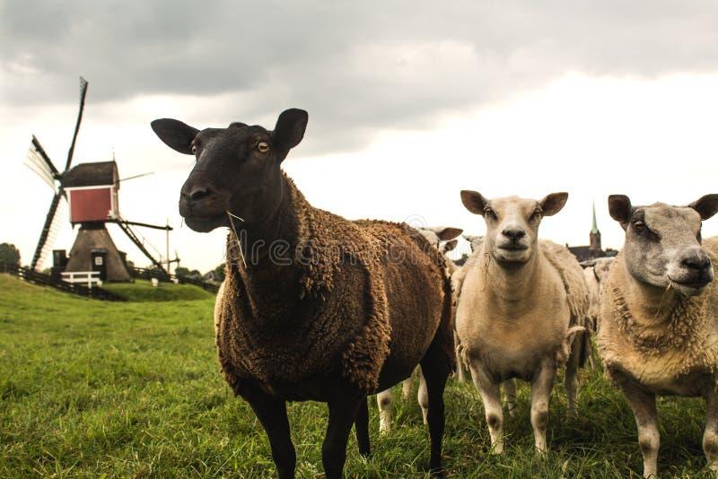 Moutons et moulin image stock